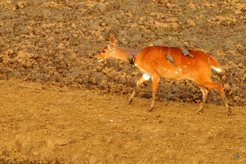 Guib harnaché/Bushbuck (1)