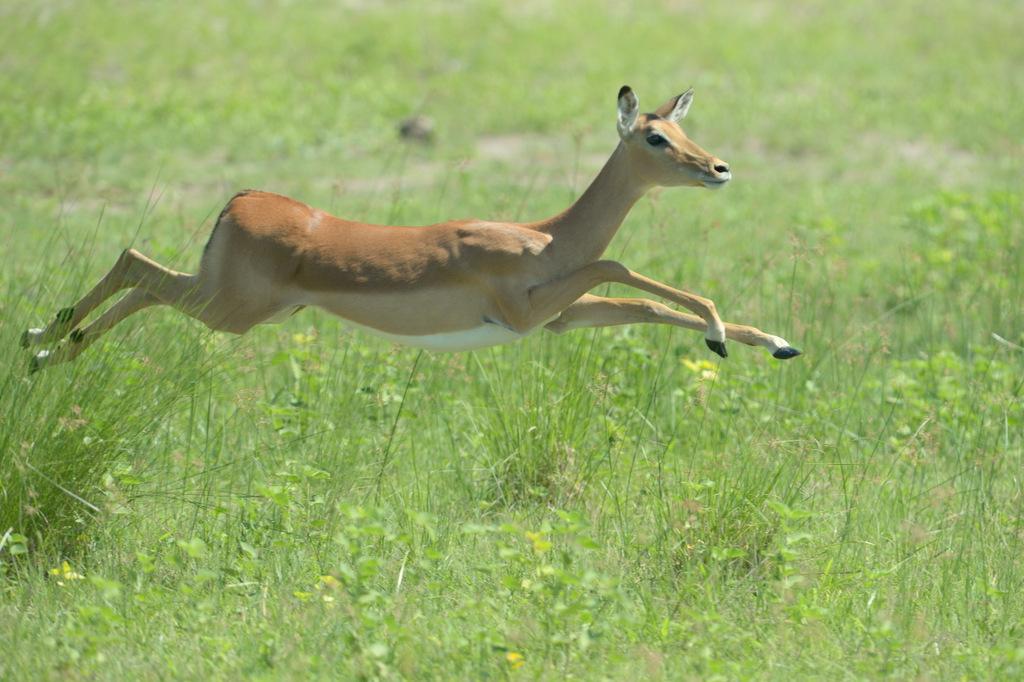 Impala (3)