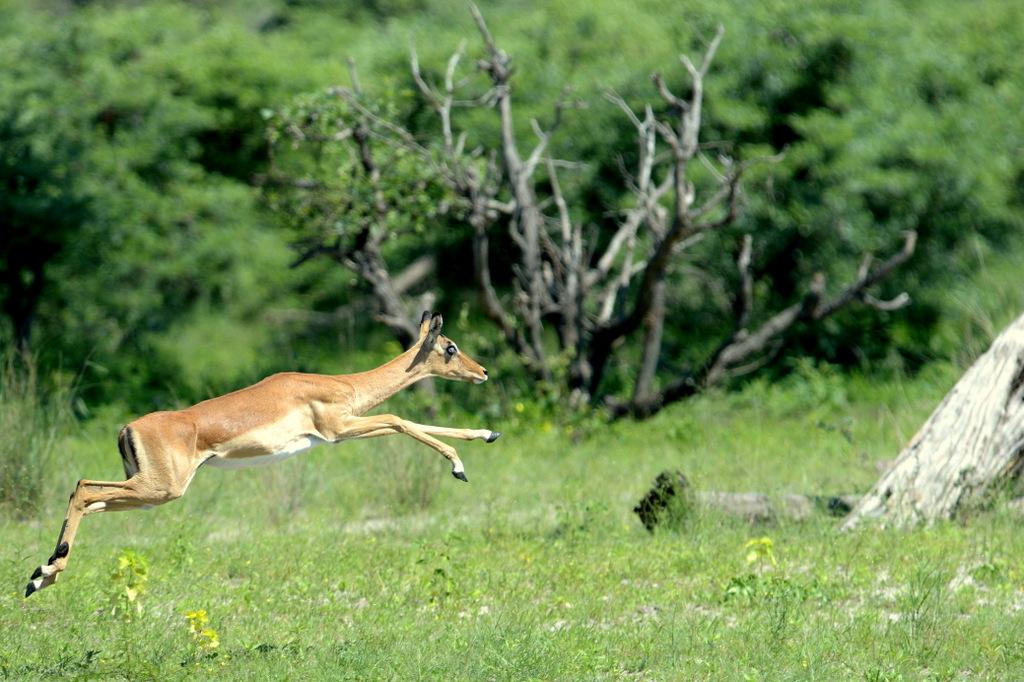 Impala (5)
