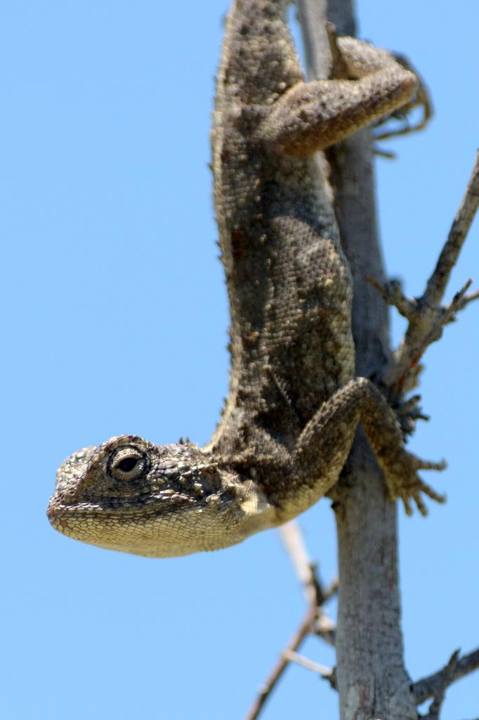 Agame/Agama Lizard (2)