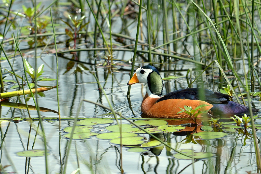 Anserelle naine/African Pygmy-Goose (1)