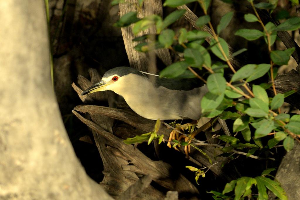 Bihoreau gris/Black-crowned Night-Heron (1)