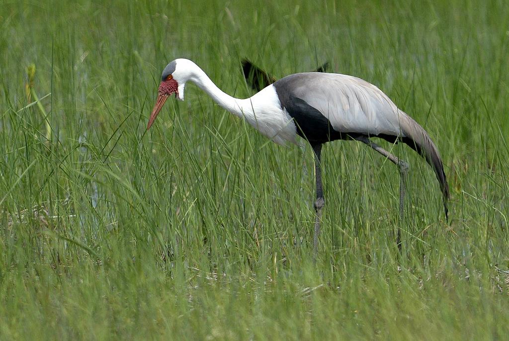 Grue caronculée/Wattled Crane (1)