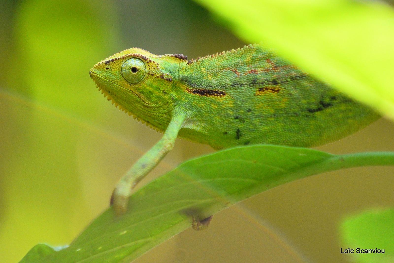 Caméléon d'Afrique/Slender Chameleo (3)