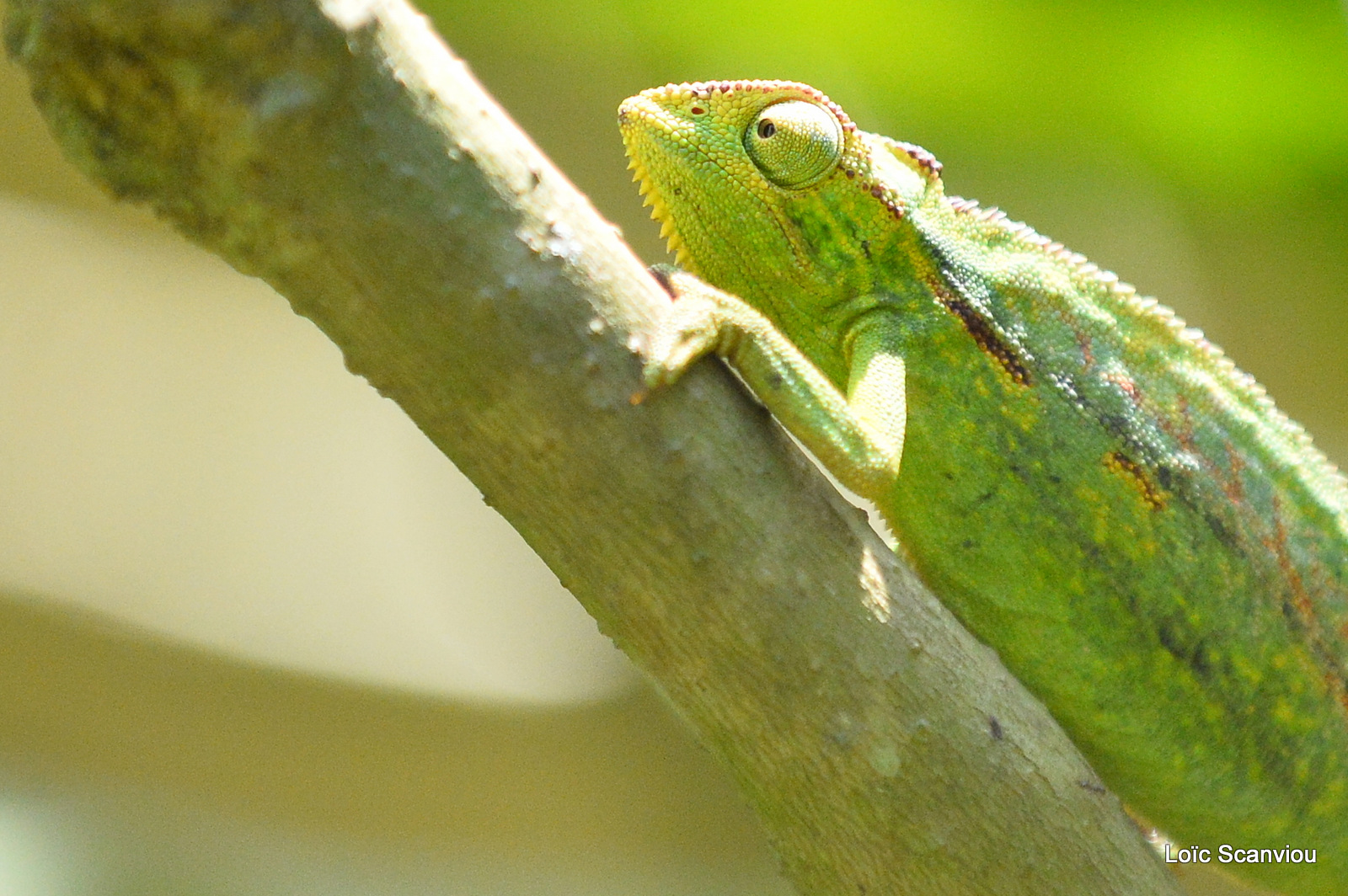 Caméléon d'Afrique/Slender Chameleo (4)