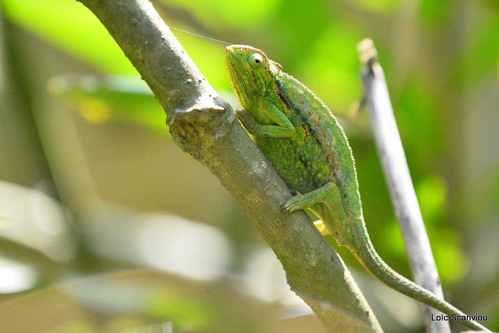 Caméléon d'Afrique/Slender Chameleo (5)