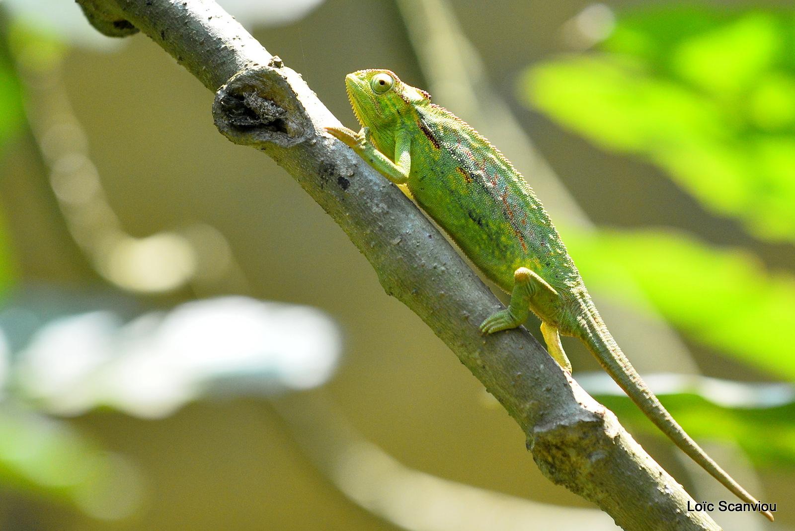 Caméléon d'Afrique/Slender Chameleo (6)