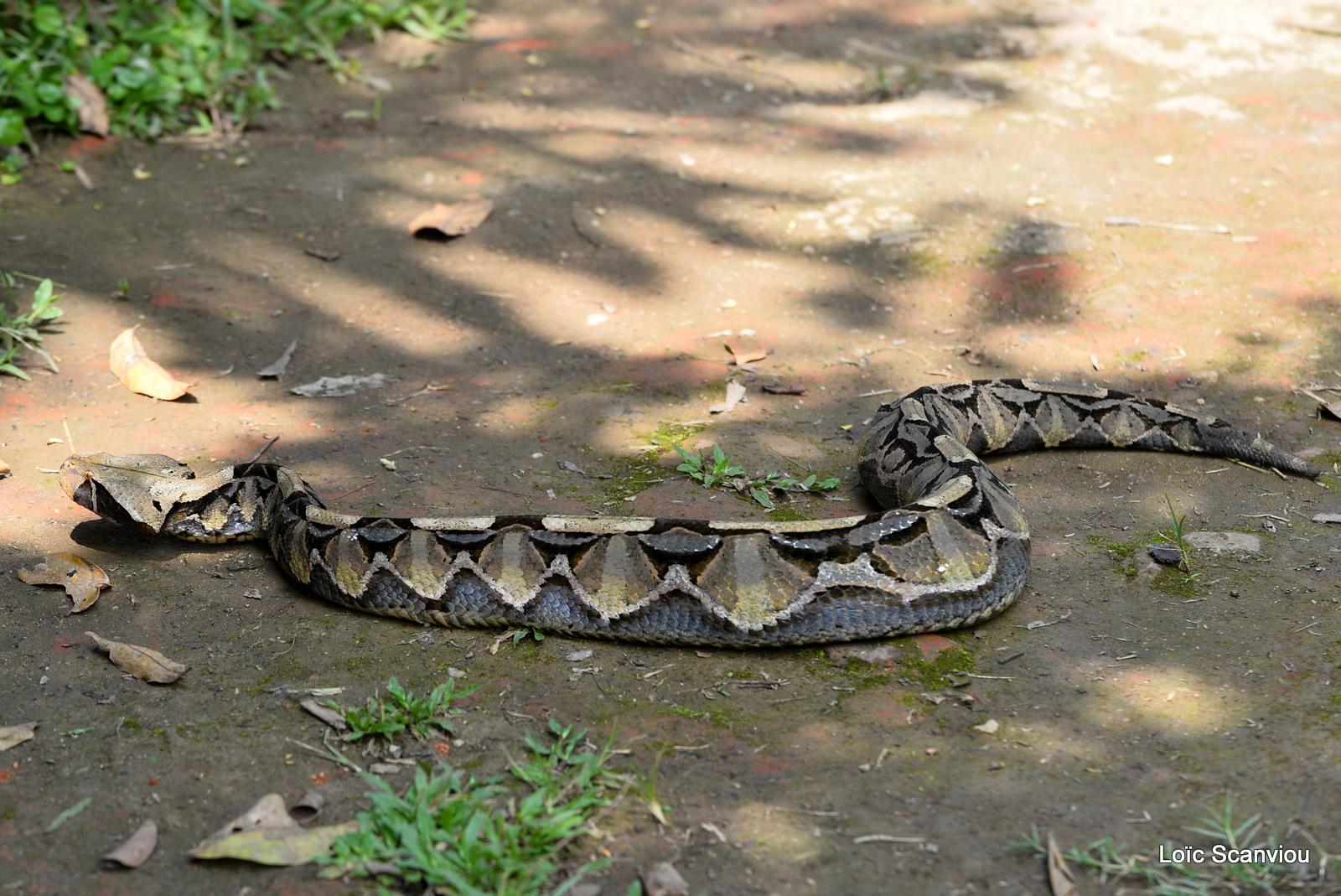 Vipère du Gabon/Gaboon Viper (1)