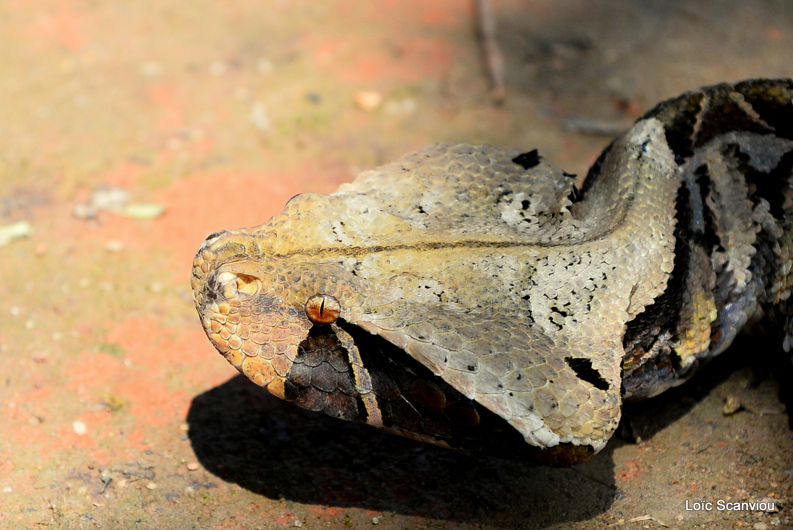 Vipère du Gabon/Gaboon Viper (3)