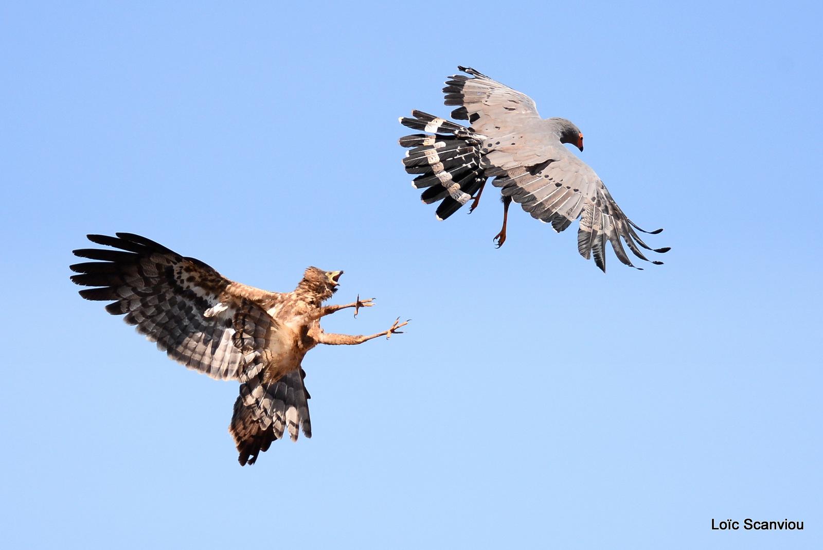 Gymnogène d'Afrique/African Harrier Hawk (1)