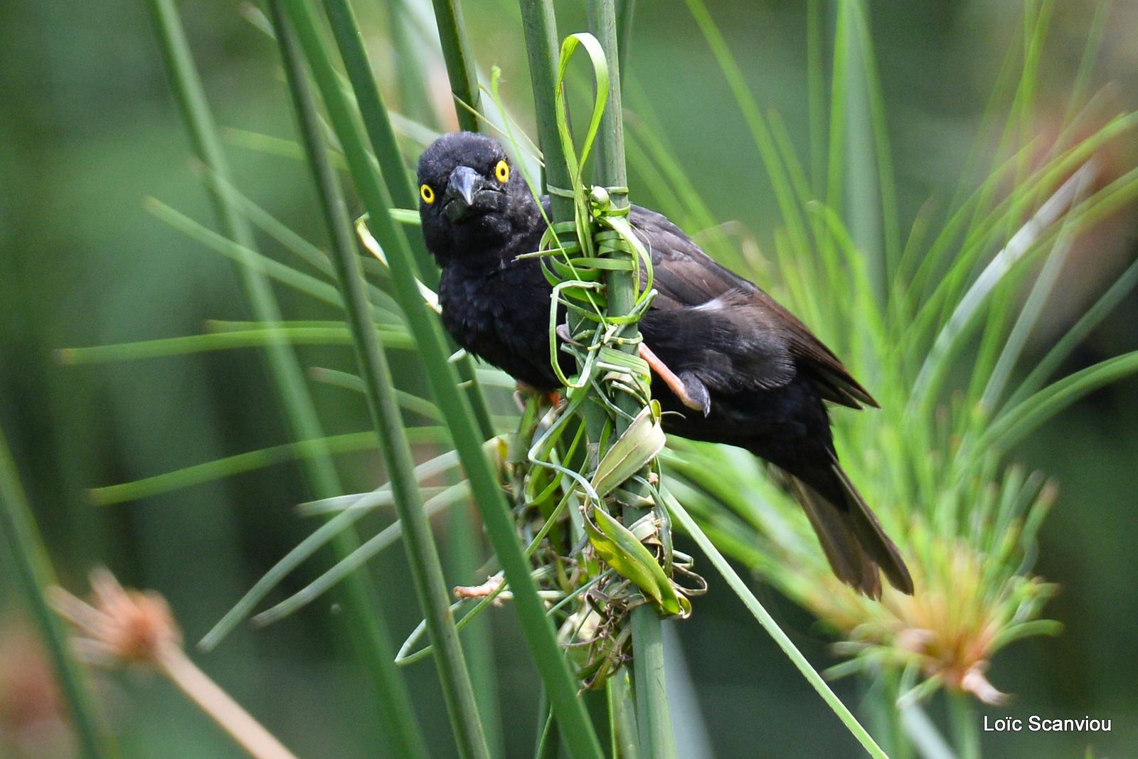 Tisserin noir/Vieillot's Black Weaver (3)