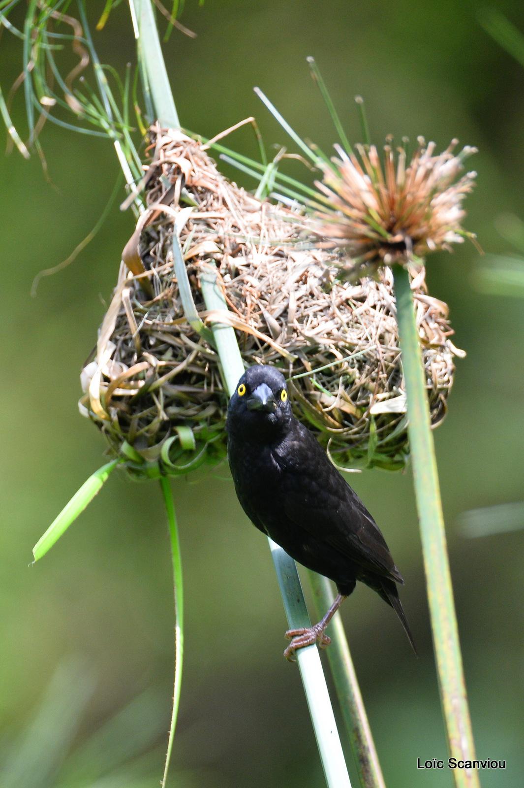 Tisserin noir/Vieillot's Black Weaver (4)
