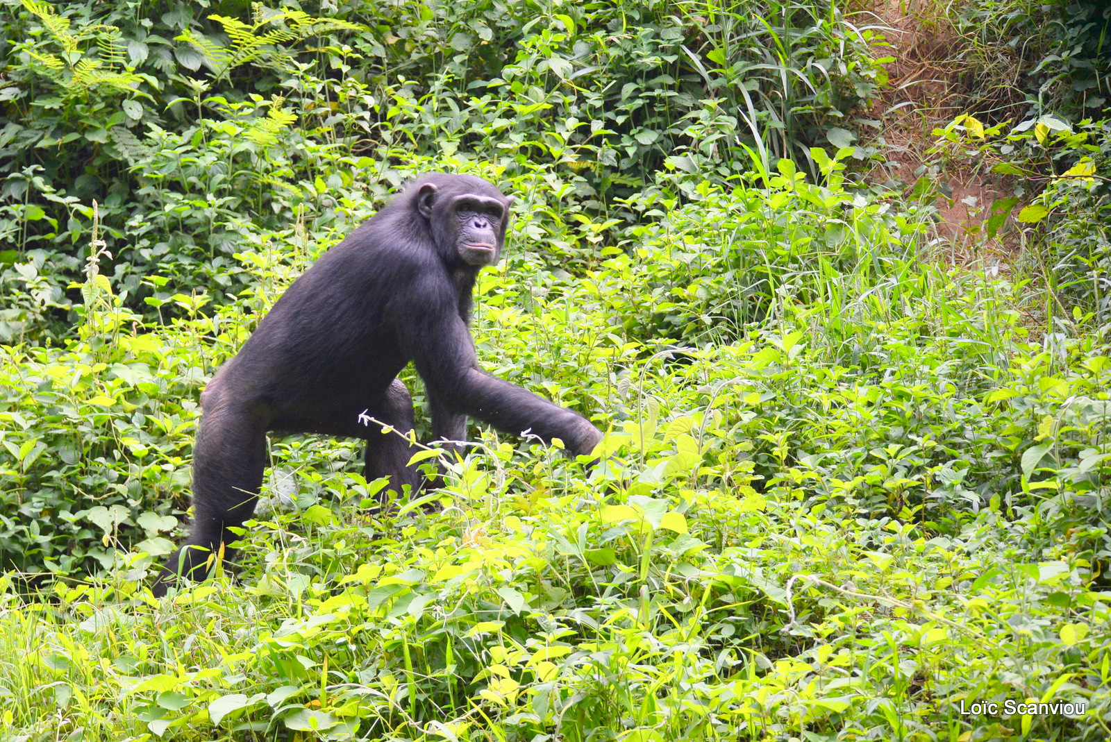 Chimpanzé/Chimpanzee (1)