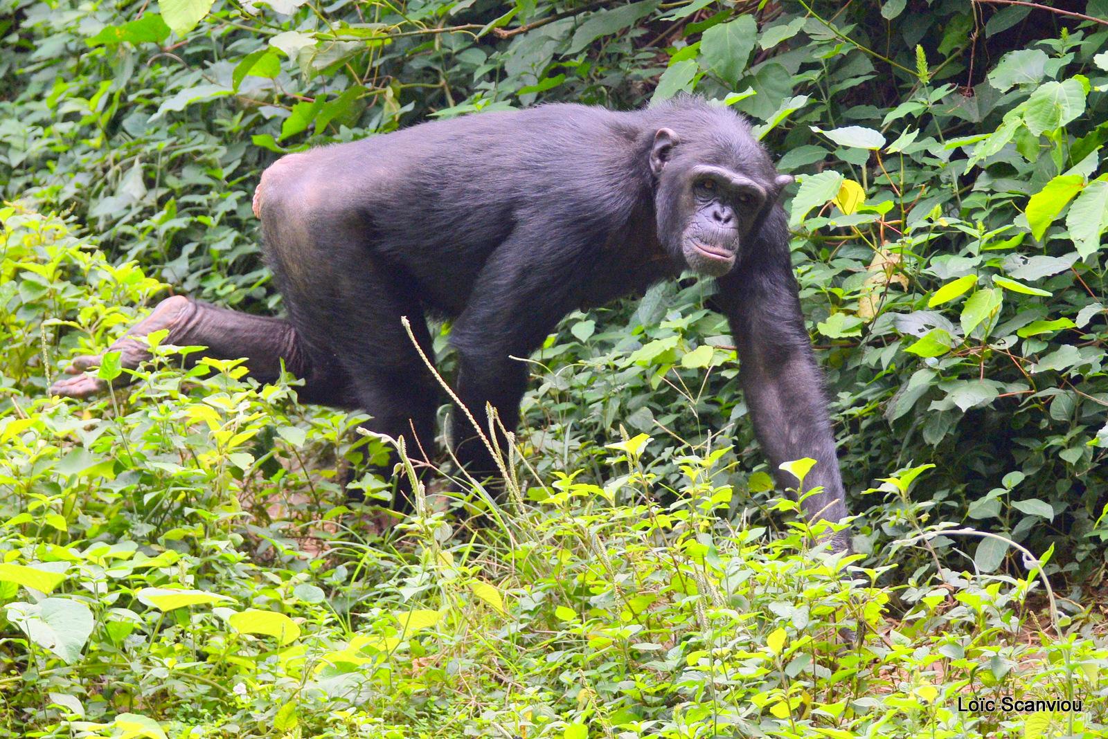 Chimpanzé/Chimpanzee (2)