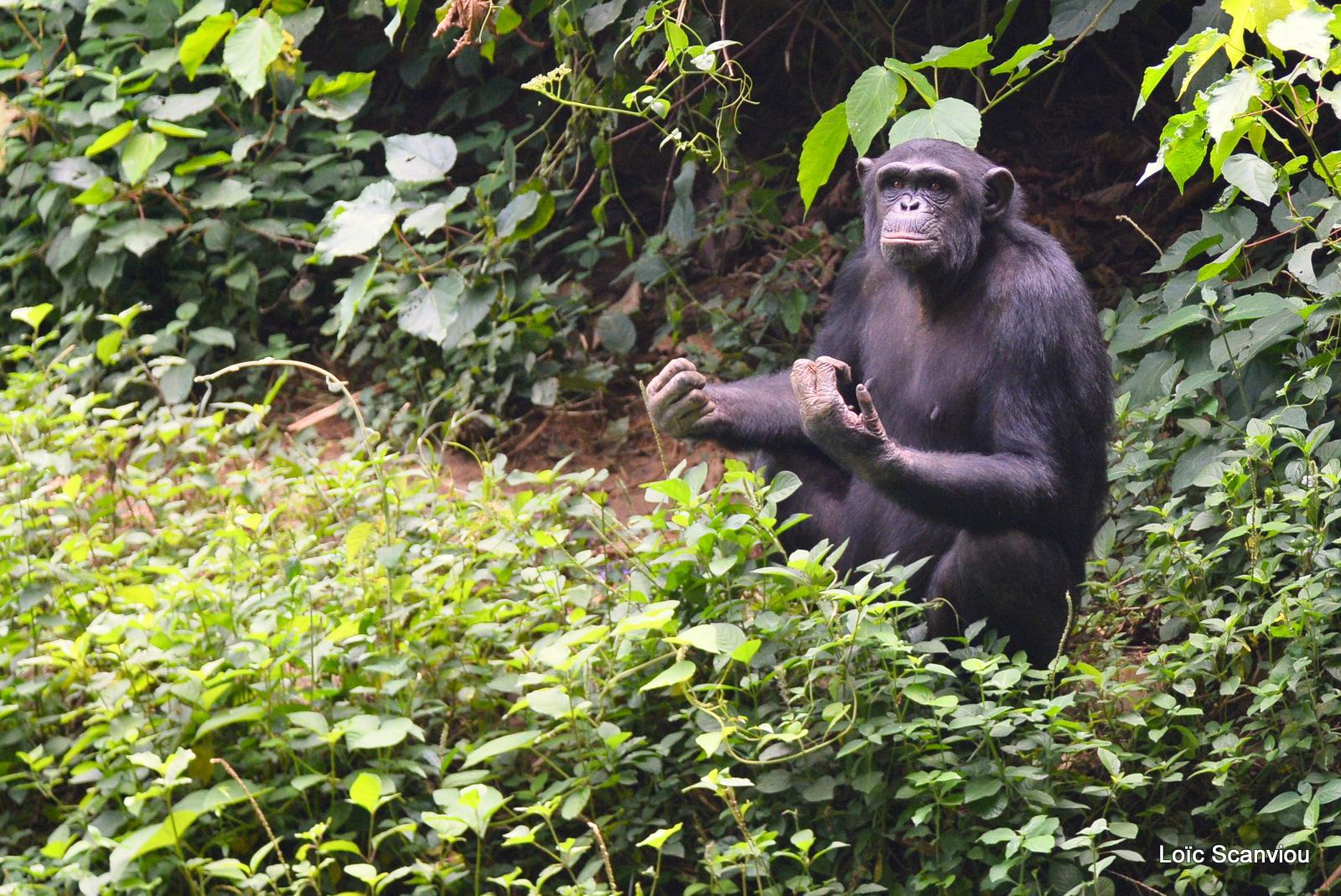 Chimpanzé/Chimpanzee (3)