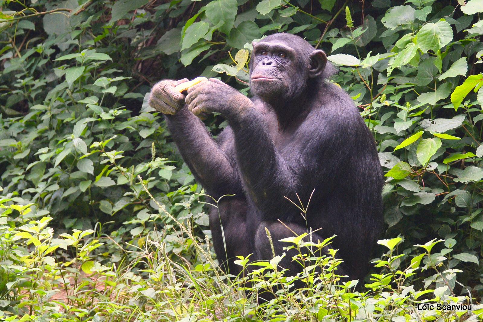 Chimpanzé/Chimpanzee (5)