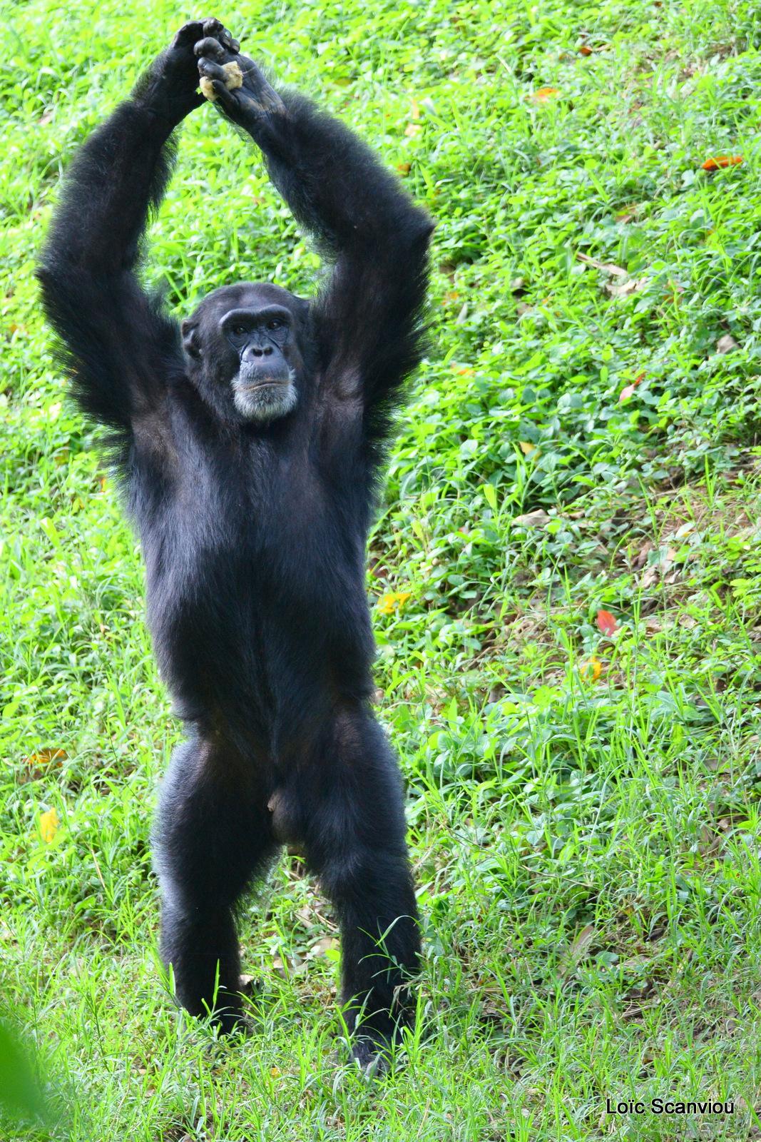 Chimpanzé/Chimpanzee (8)