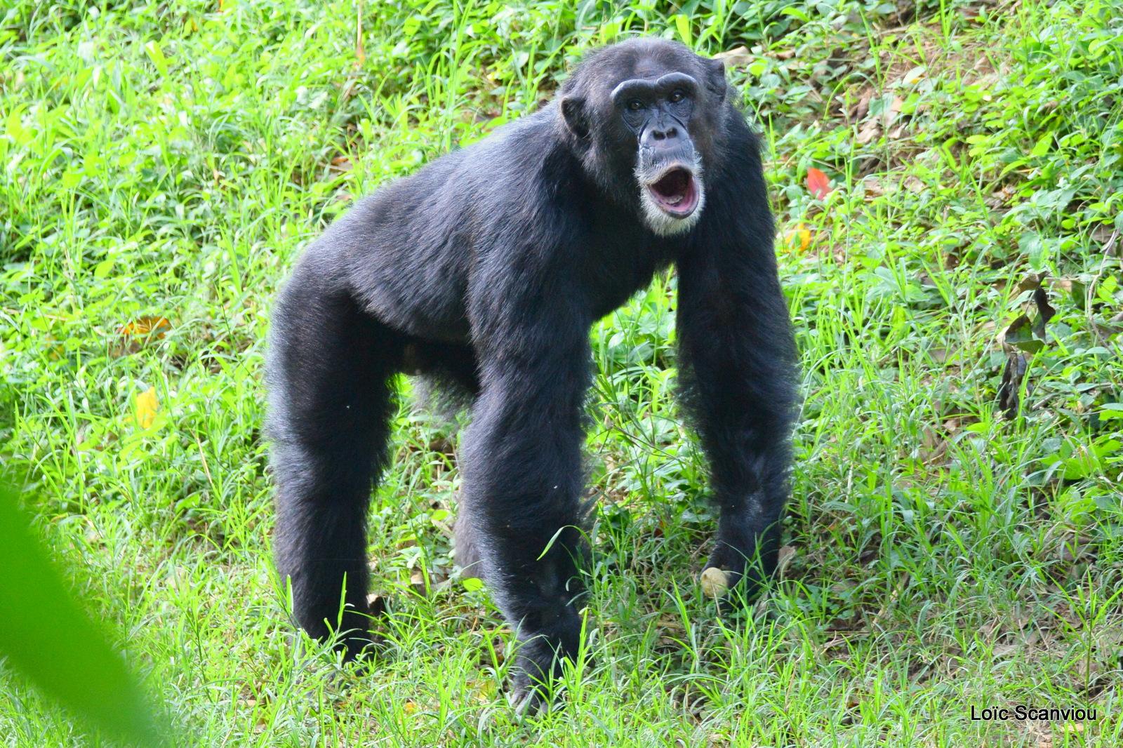 Chimpanzé/Chimpanzee (9)