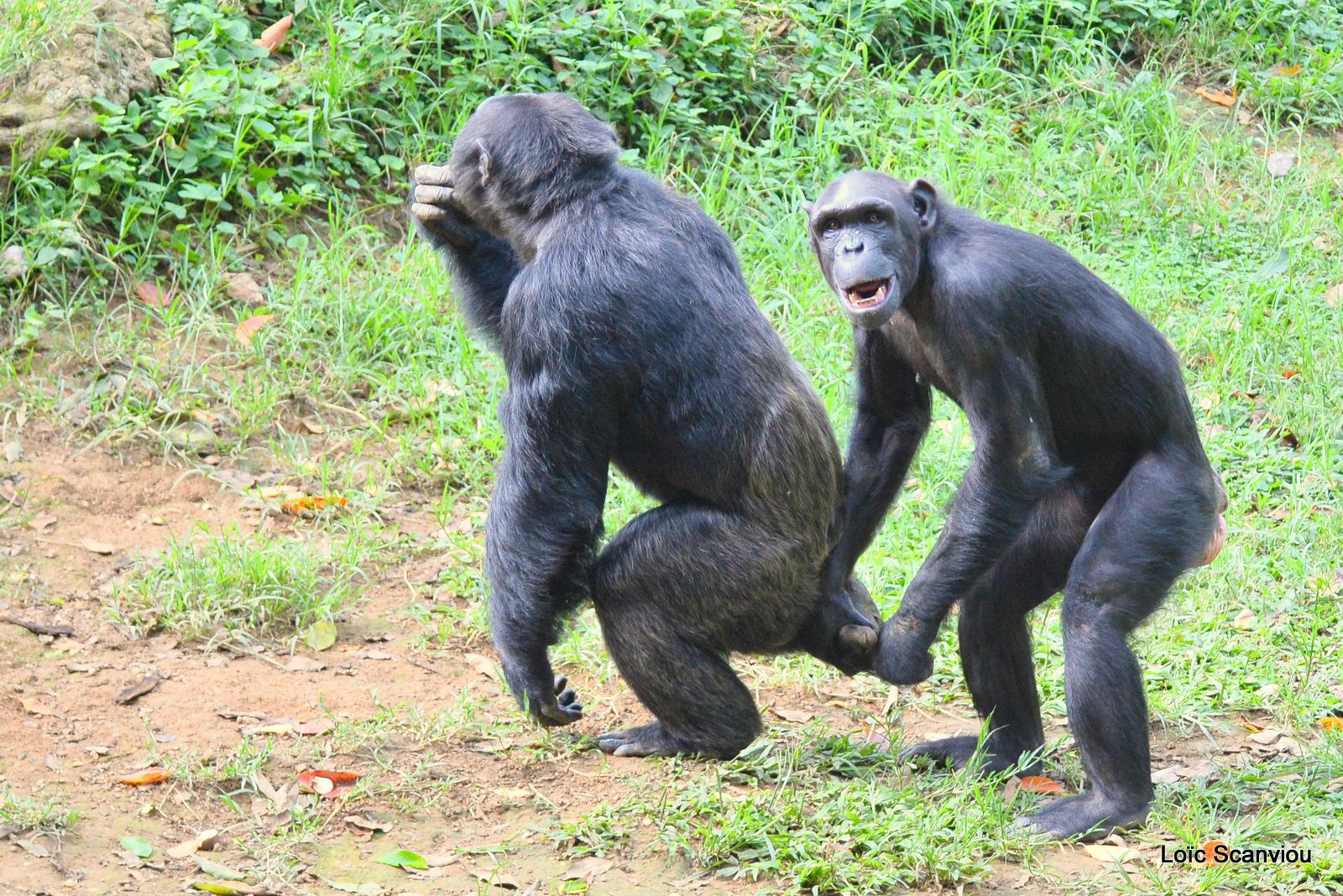 Chimpanzé/Chimpanzee (10)