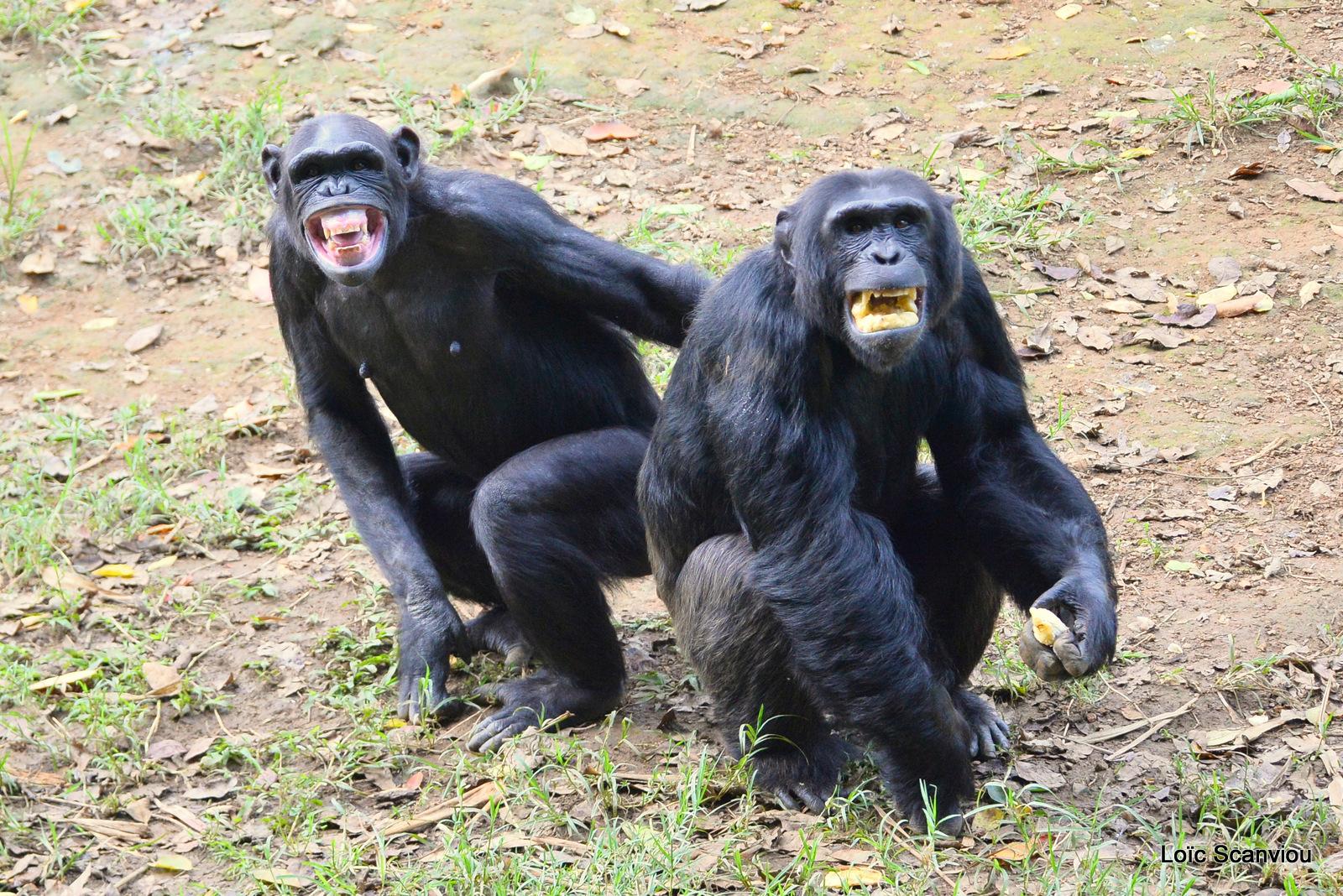 Chimpanzé/Chimpanzee (13)