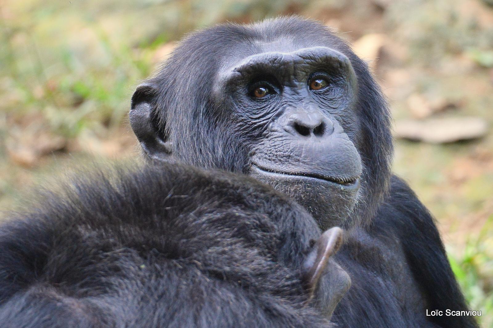 Chimpanzé/Chimpanzee (14)