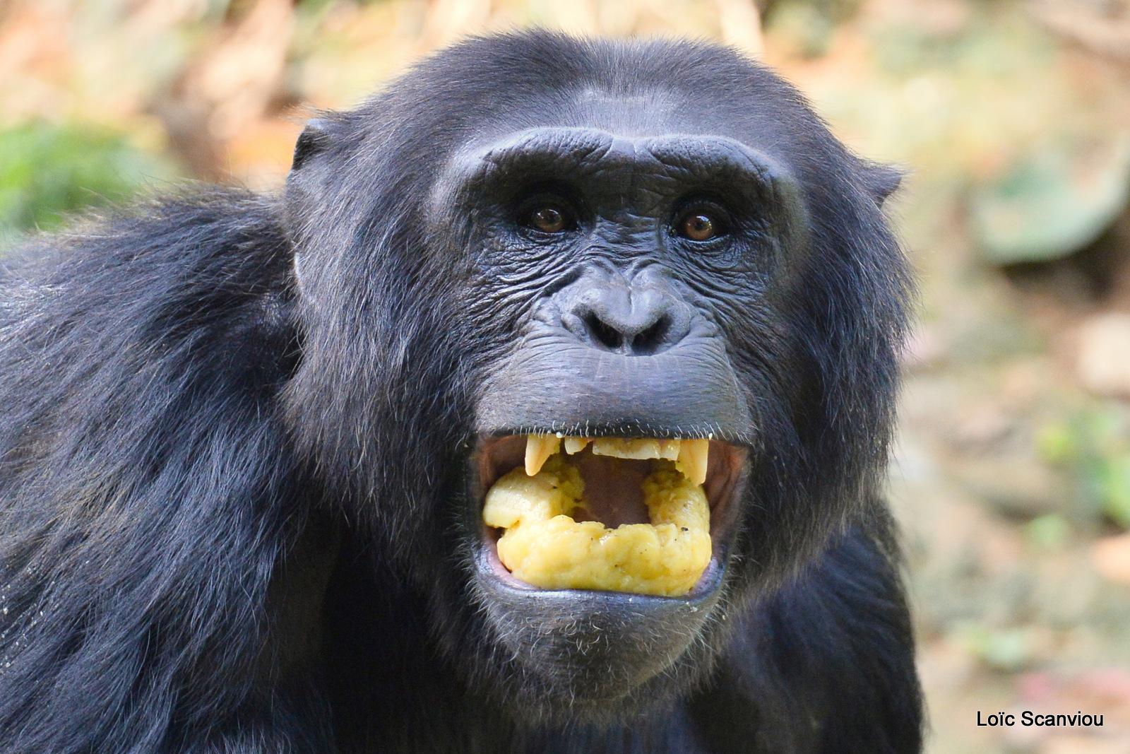 Chimpanzé/Chimpanzee (15)