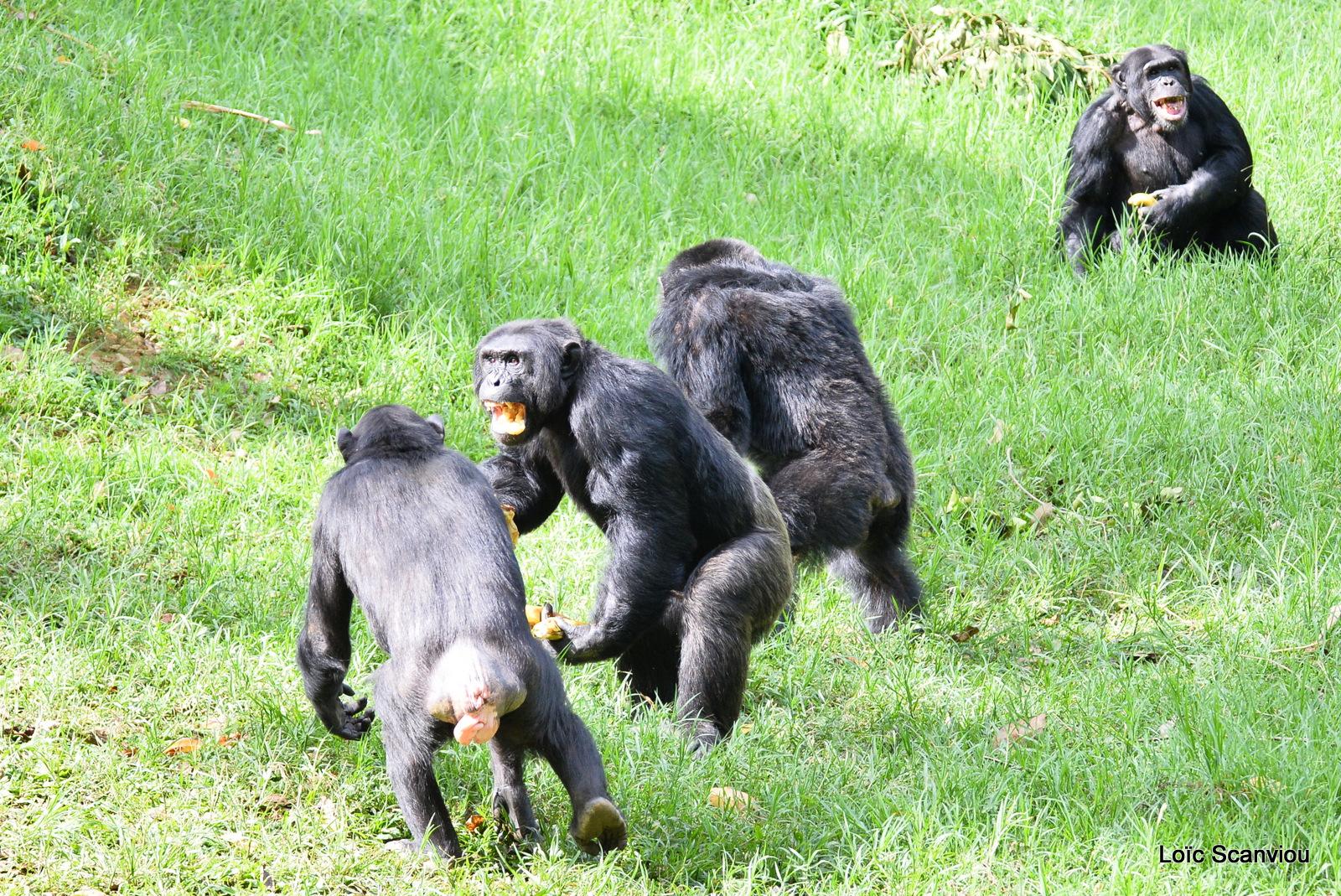 Chimpanzé/Chimpanzee (16)