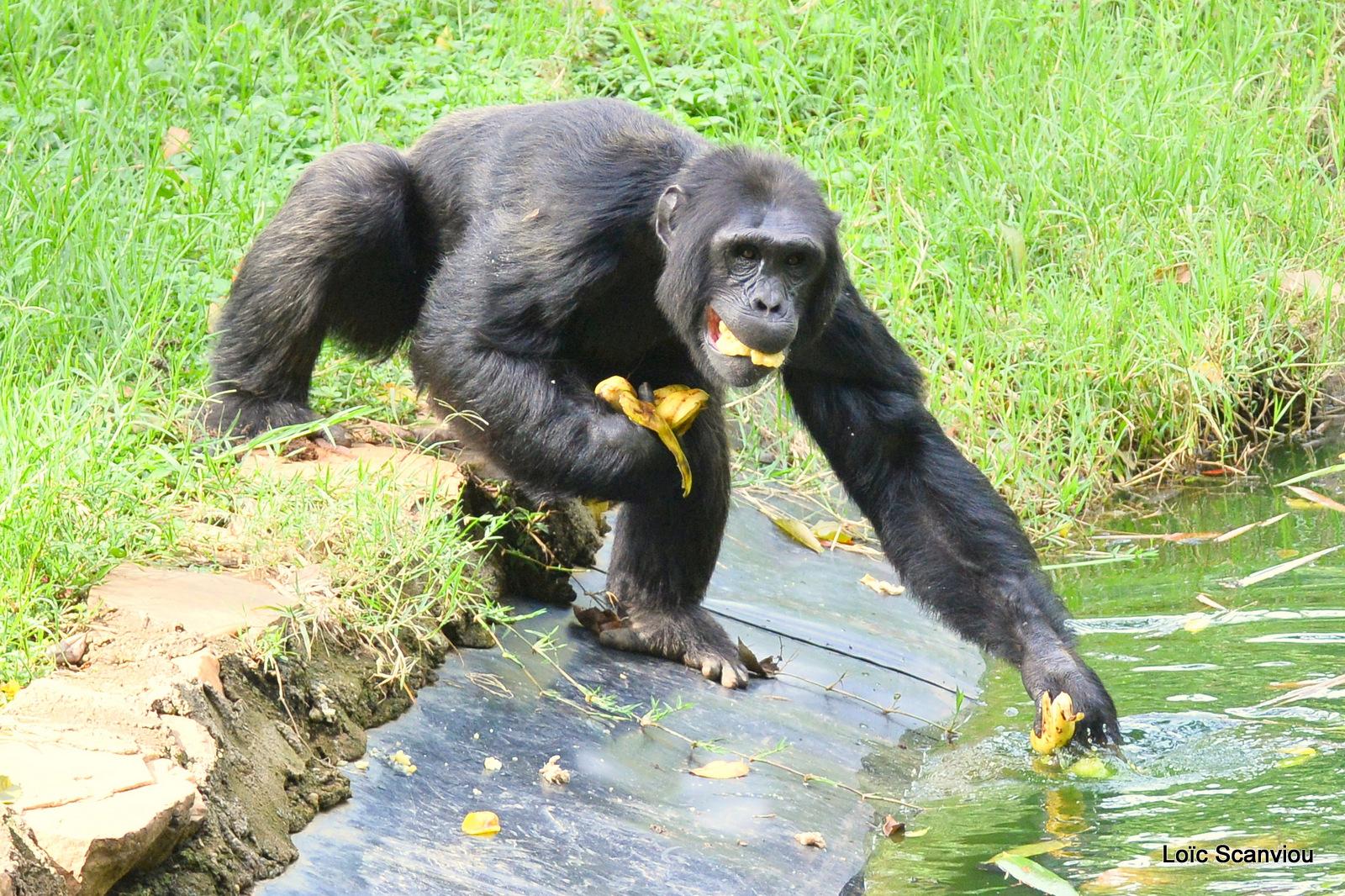 Chimpanzé/Chimpanzee (17)