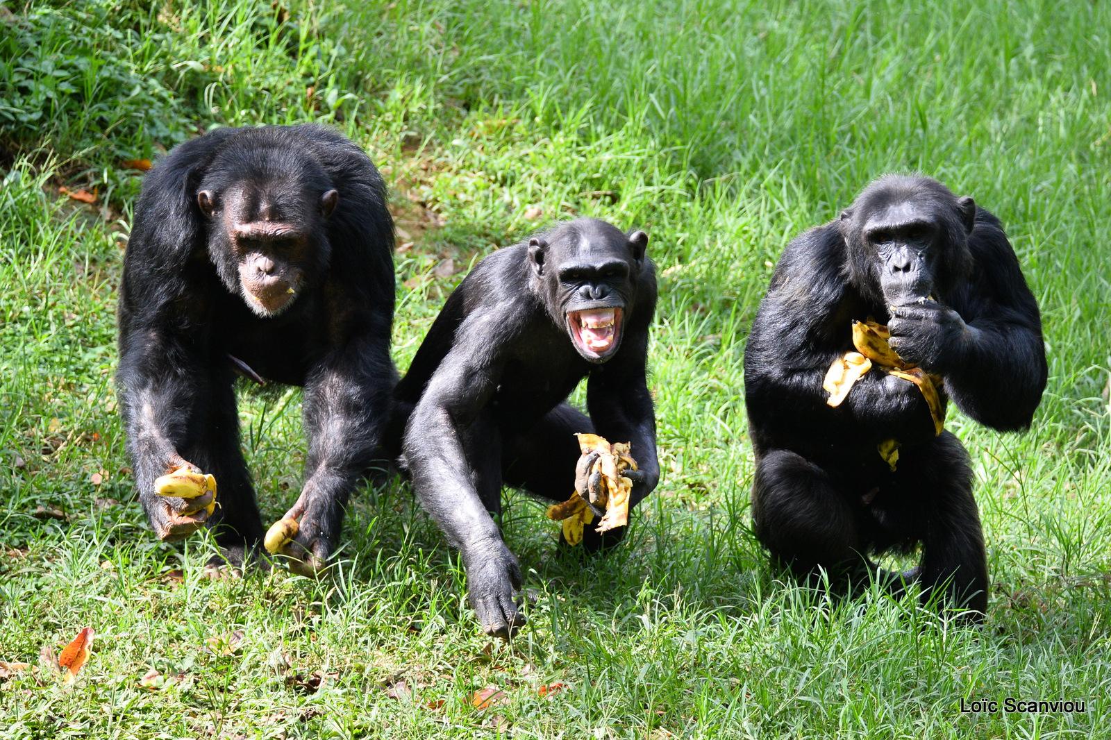 Chimpanzé/Chimpanzee (18)