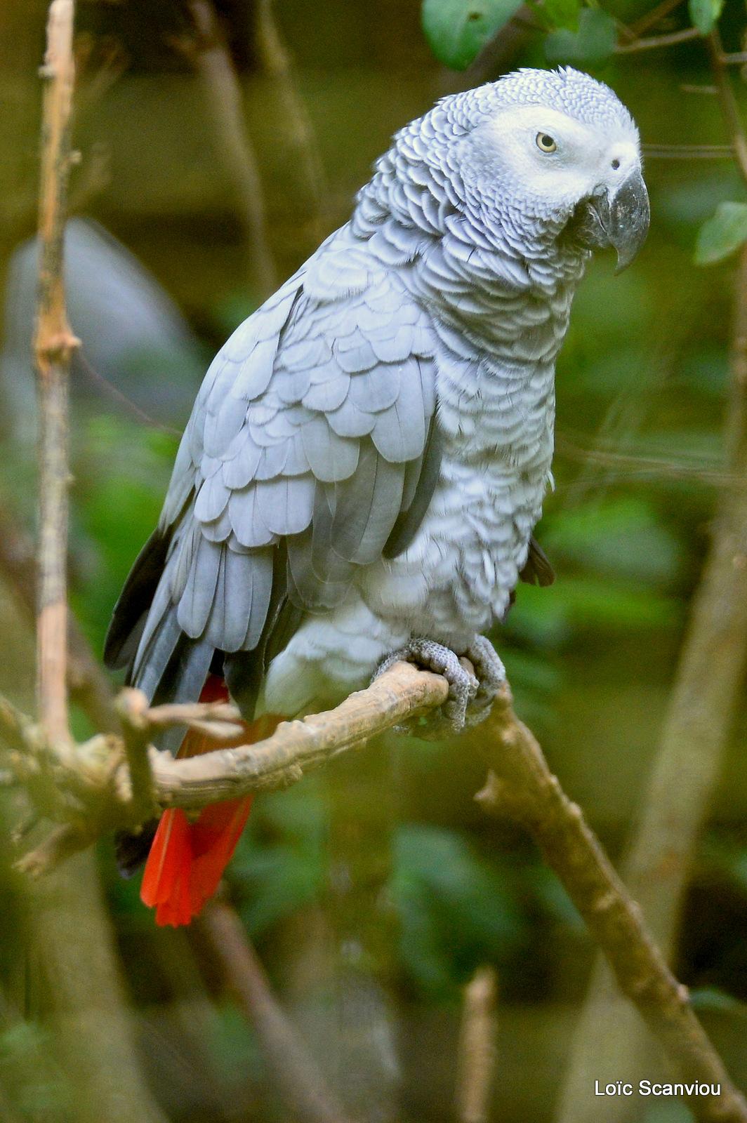 Perroquet jaco/Grey Parrot (1)