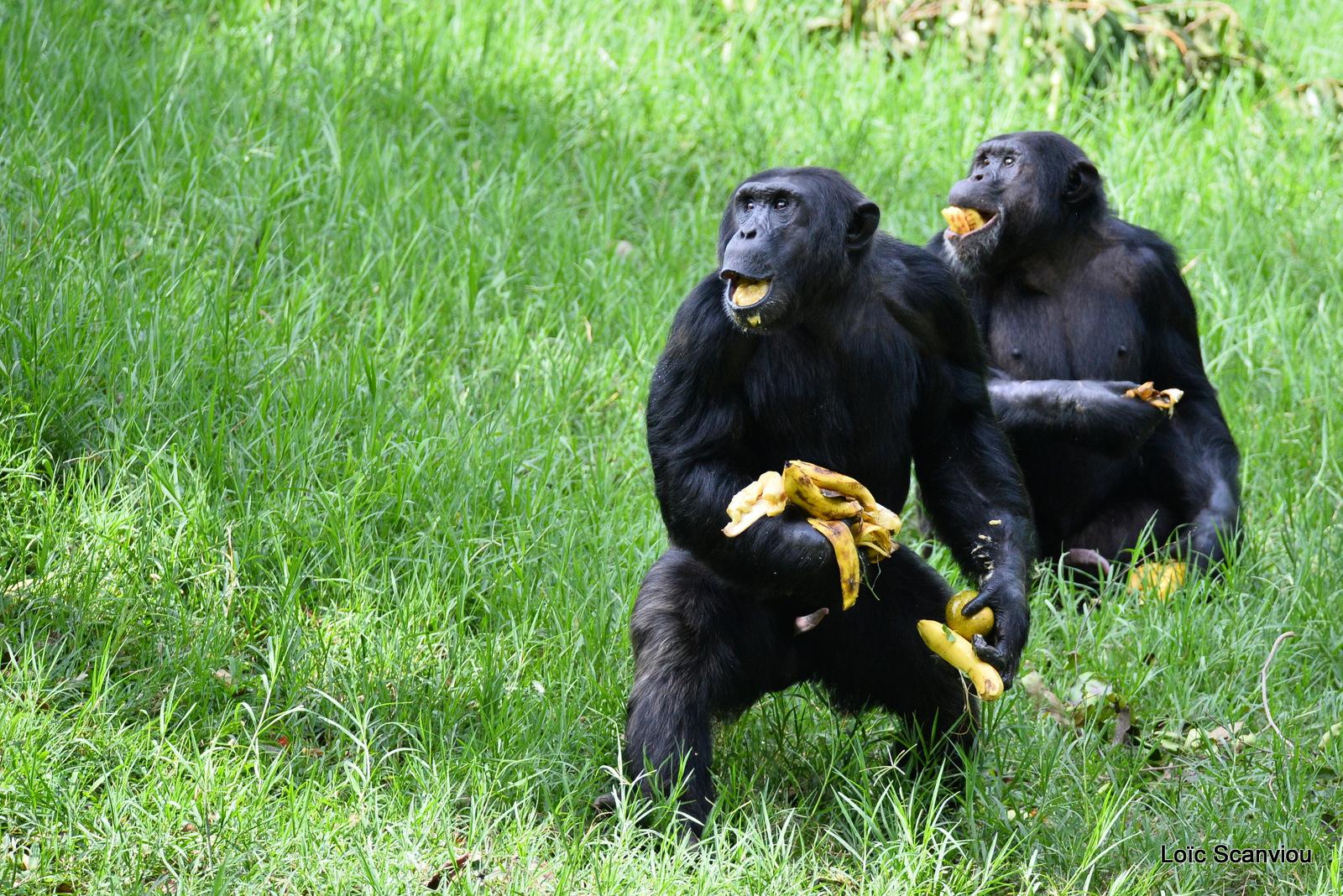 Chimpanzé/Chimpanzee (19)