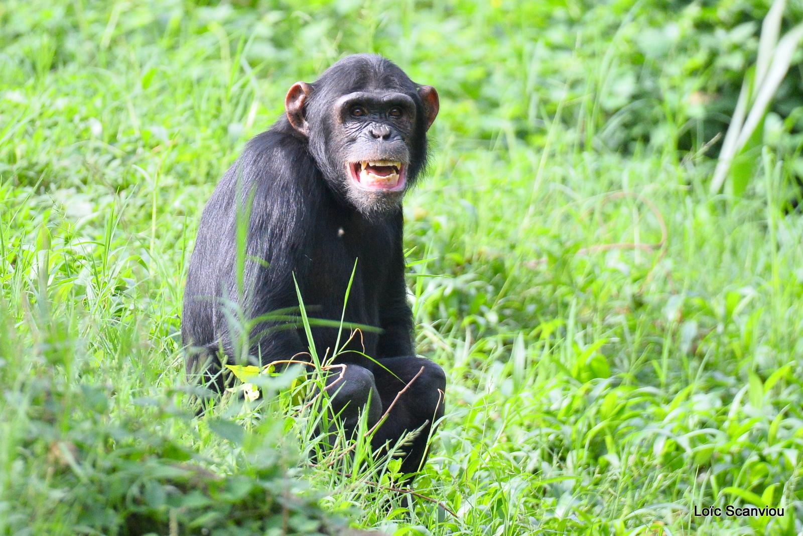 Chimpanzé/Chimpanzee (21)