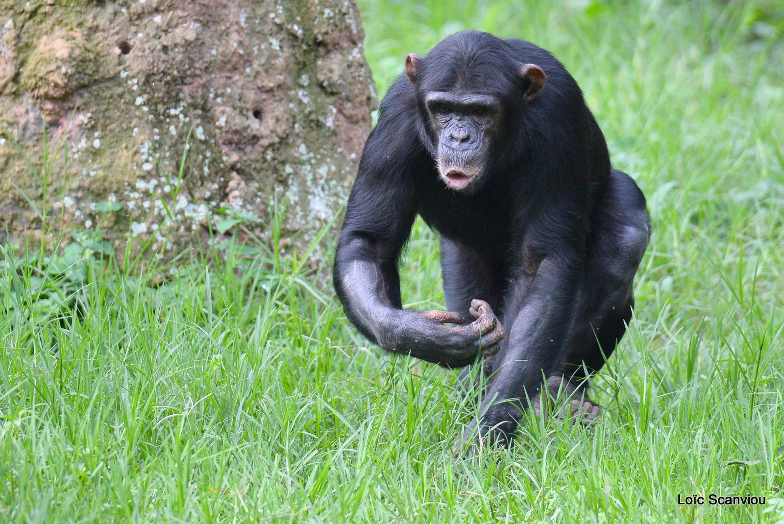 Chimpanzé/Chimpanzee (22)