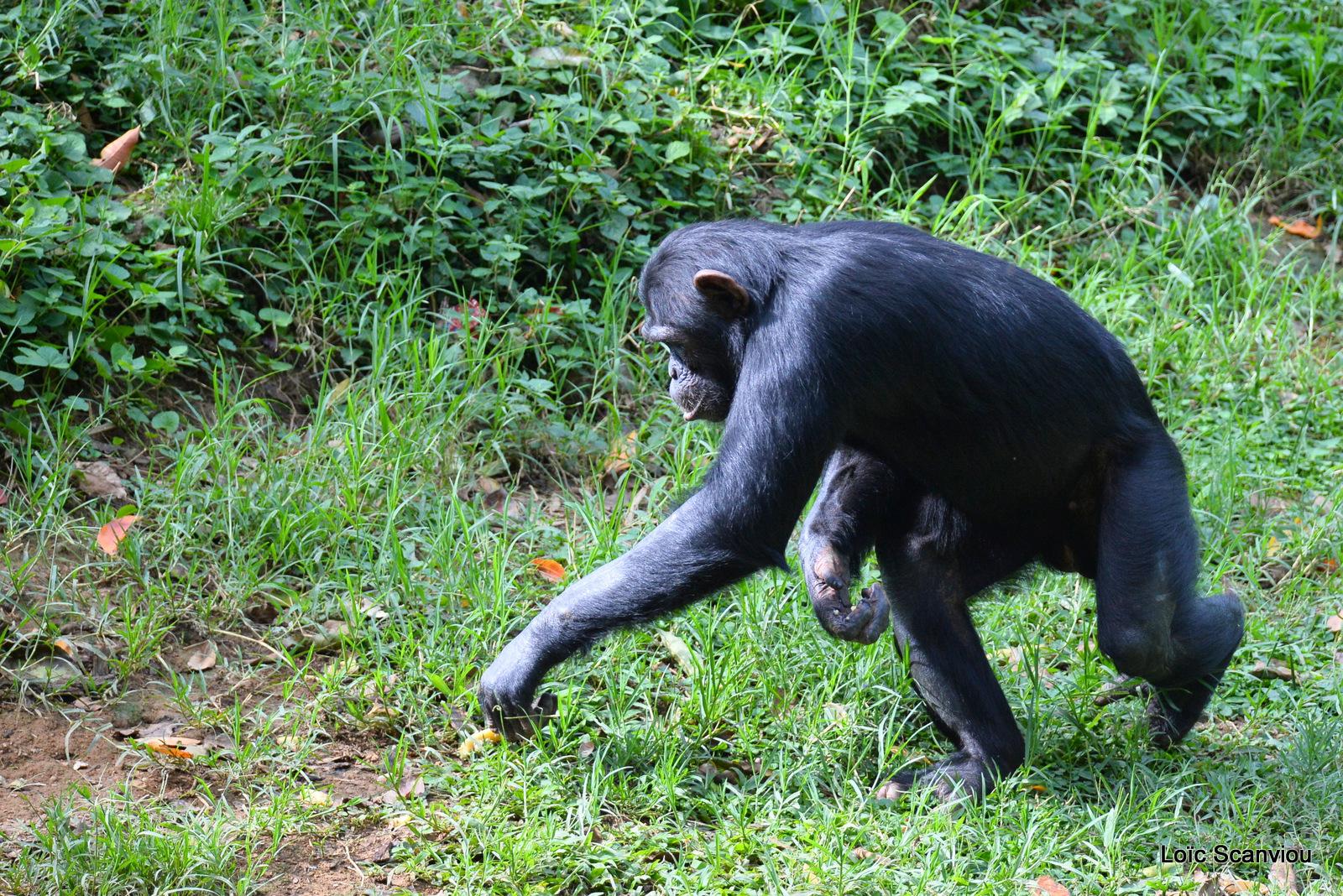 Chimpanzé/Chimpanzee (23)
