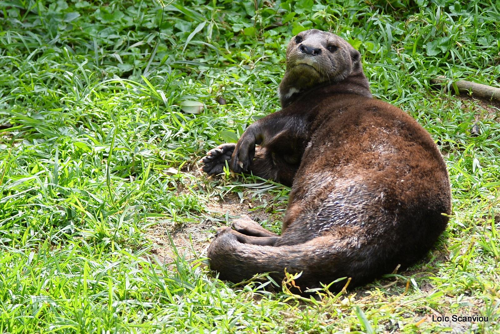 Loutre à cou tacheté/Spotted-necked Otter (1)