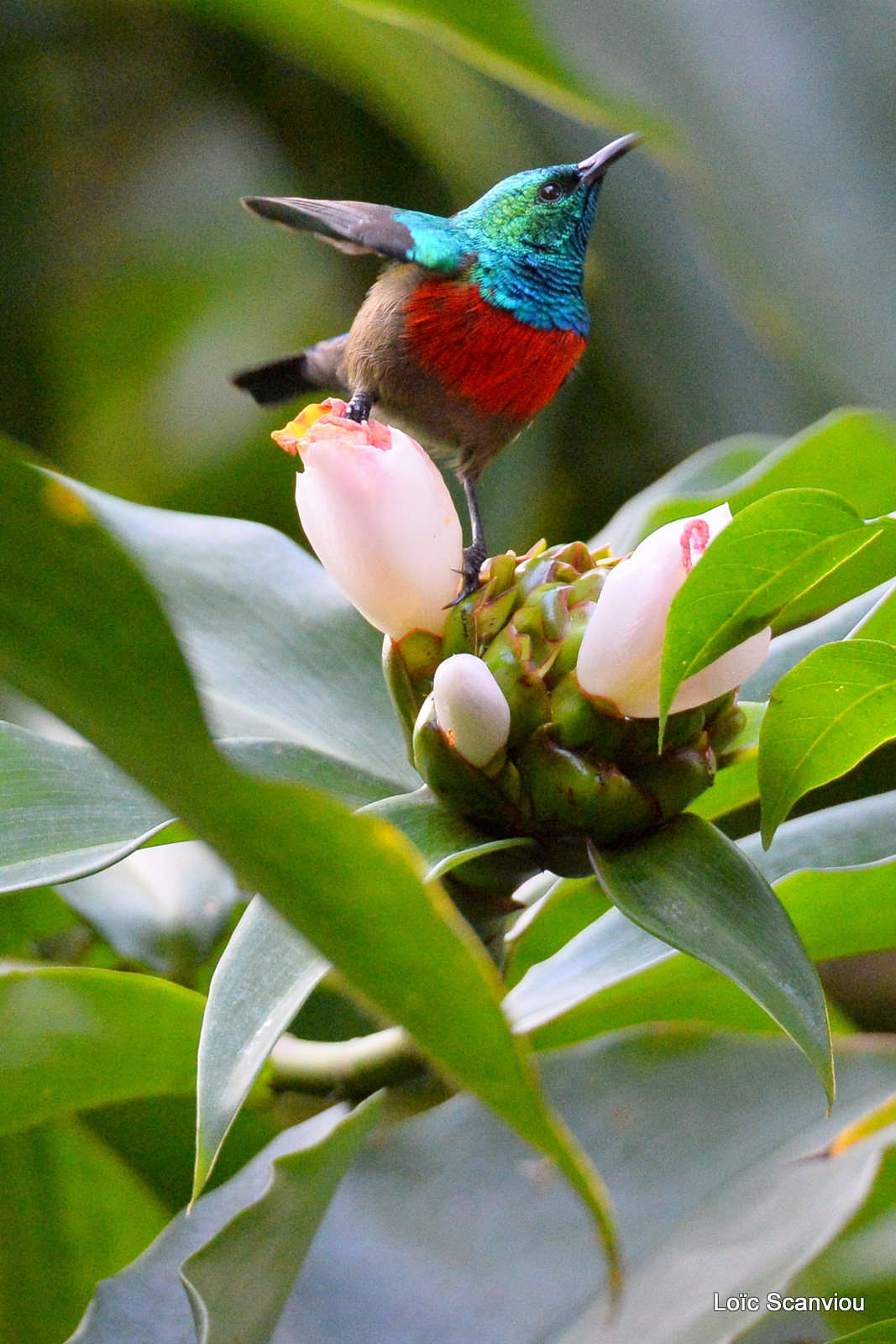 Souimanga à poitrine rouge/Scarlet-chested Sunbird (2)