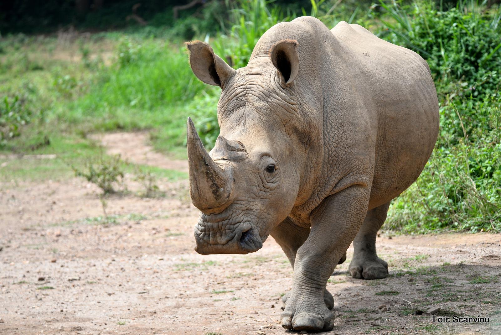 Rhinocéros blanc/White Rhinoceros (1)