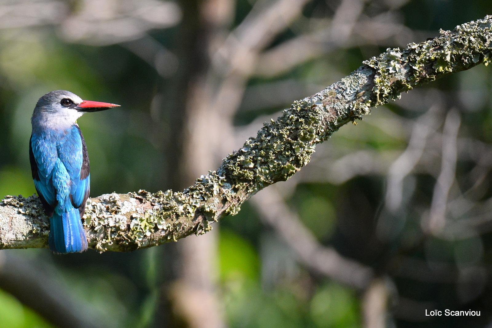 Martin-chasseur du Sénégal/Woodland Kingfisher (1)