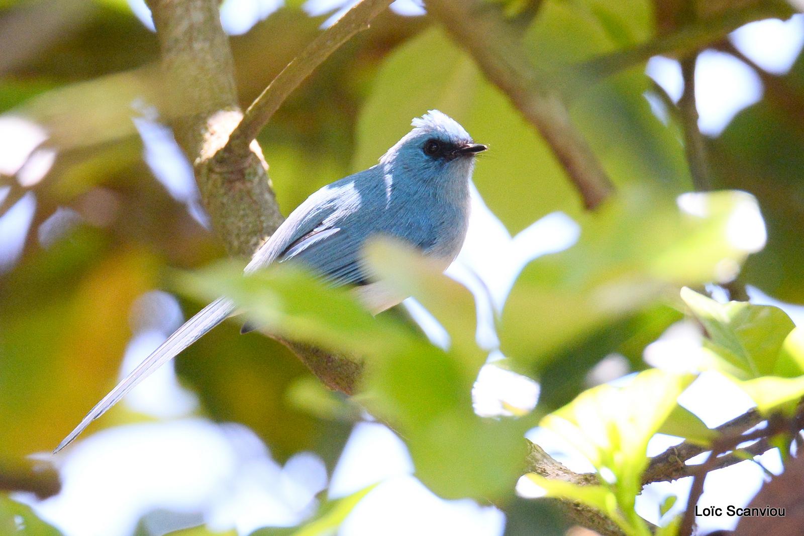 Elminie bleue/African Blue-Flycatcher (1)