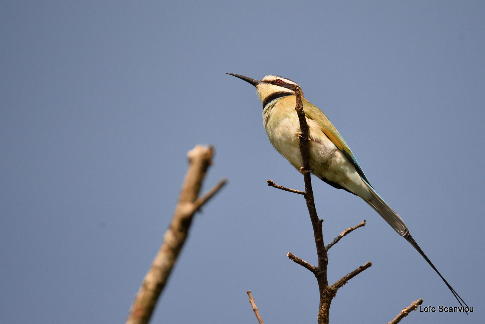 Guêpier à gorge blanche/White-throated Bee-eater (1)