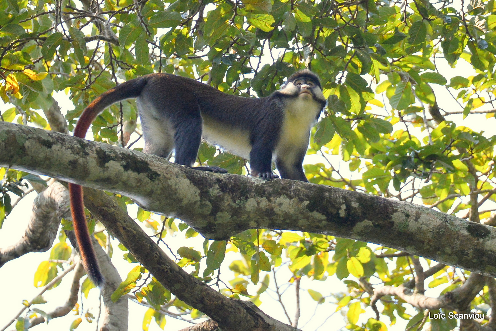 Cercopithèque ascagne/Red-tailed Monkey (1)