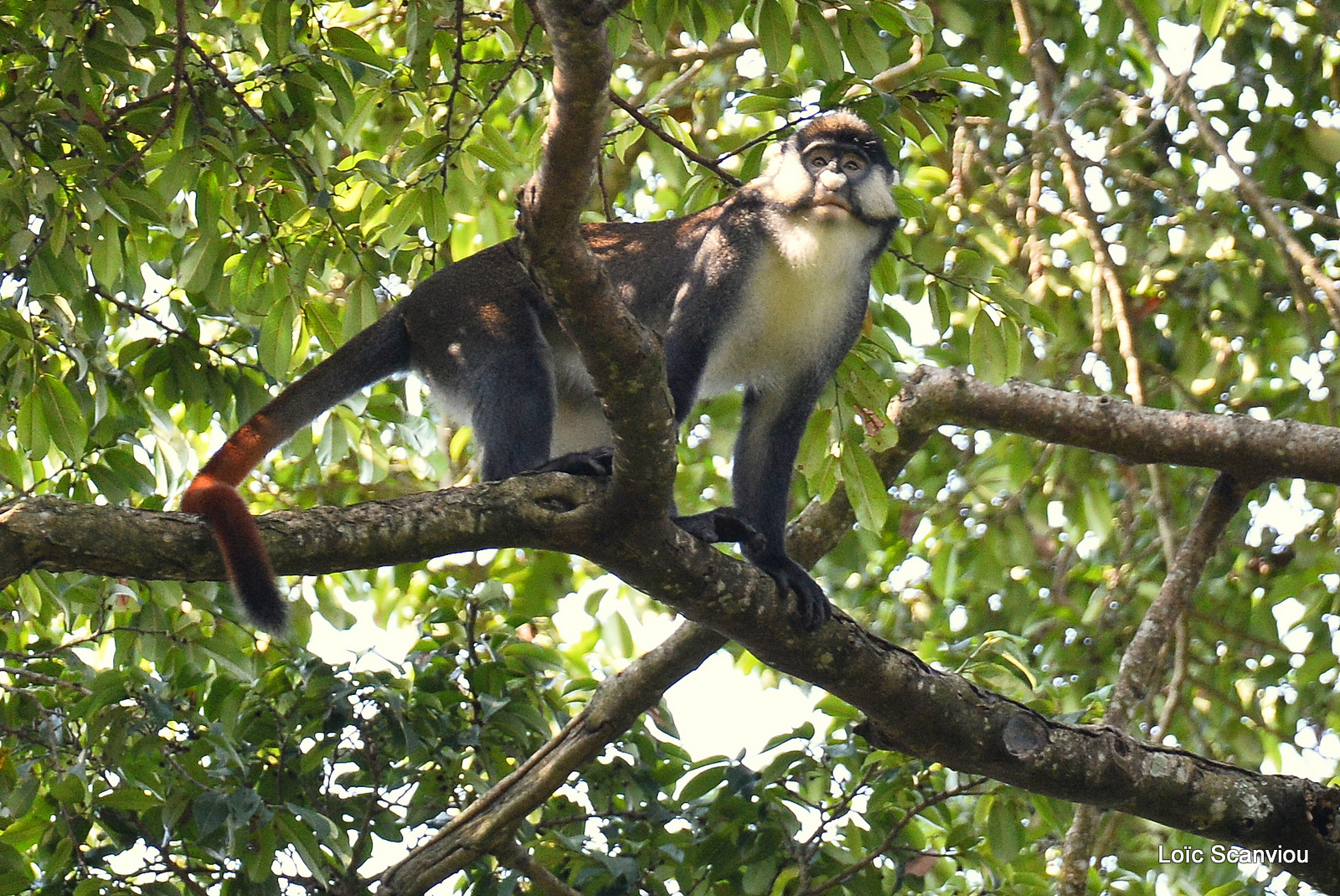 Cercopithèque ascagne/Red-tailed Monkey (4)