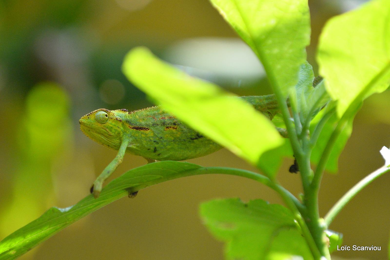Caméléon d'Afrique/Slender Chameleo (2)