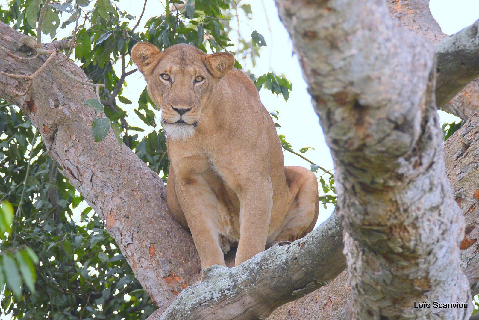 Lion dans un arbre/Lion on a tree (1)