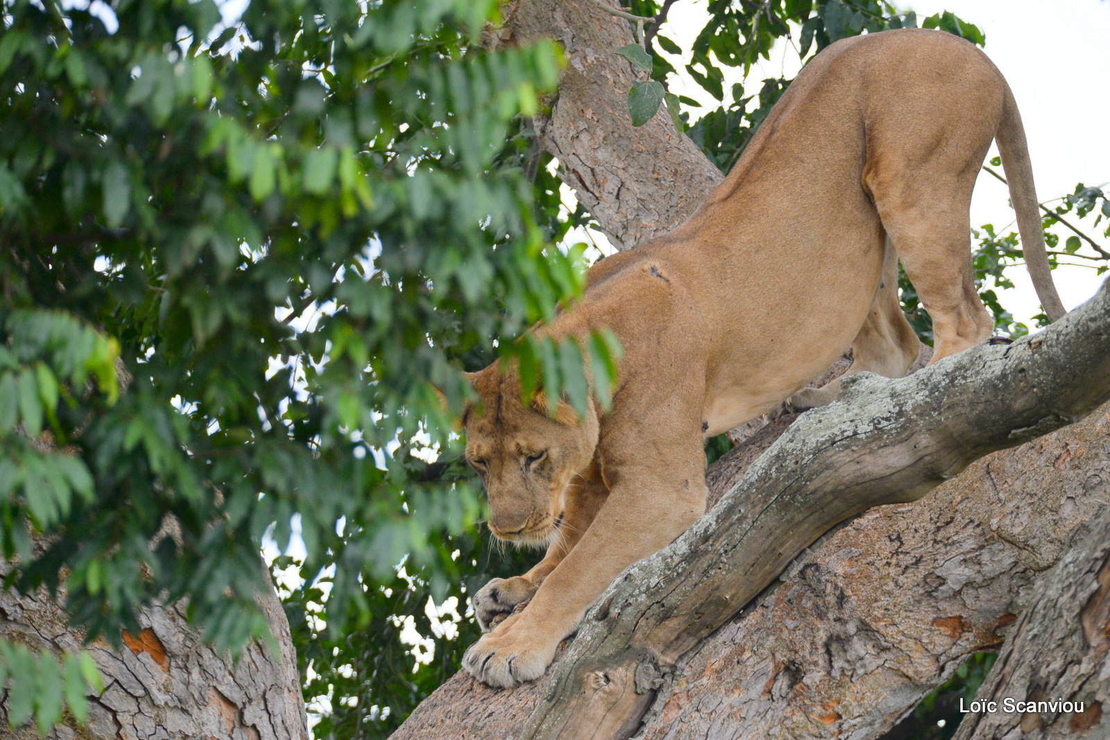 Lion dans un arbre/Lion on a tree (3)