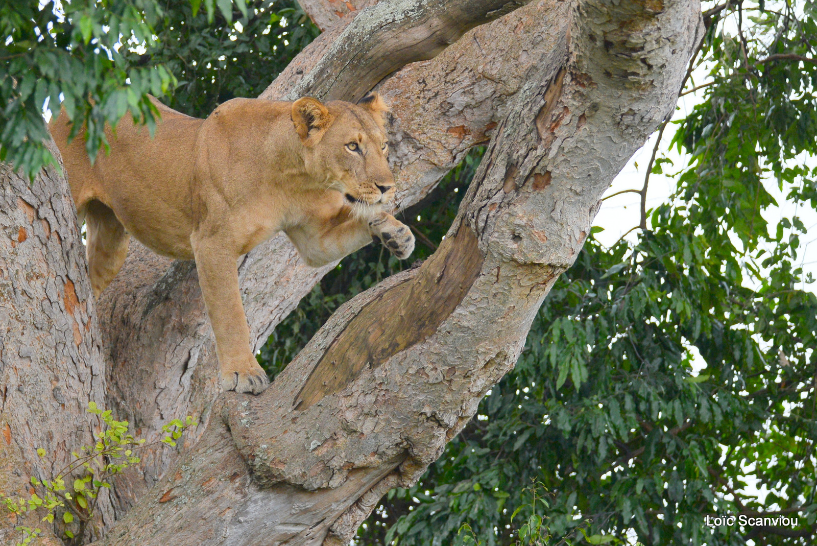 Lion dans un arbre/Lion on a tree (4)