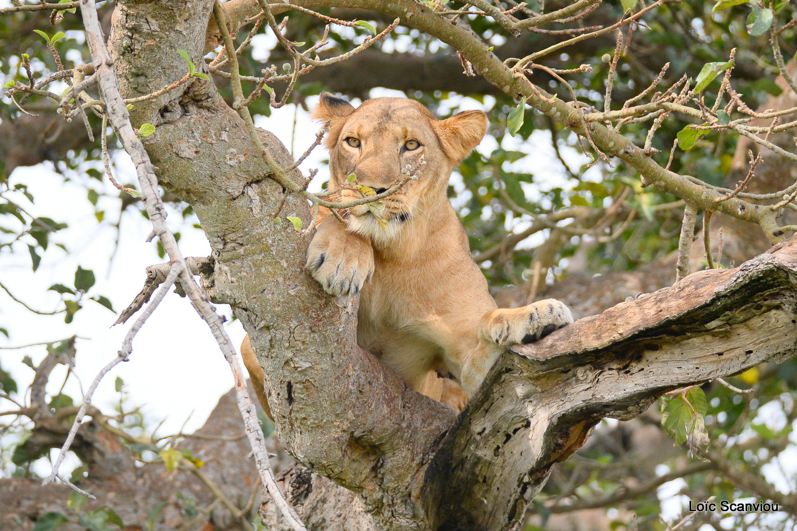 Lion dans un arbre/Lion on a tree (6)