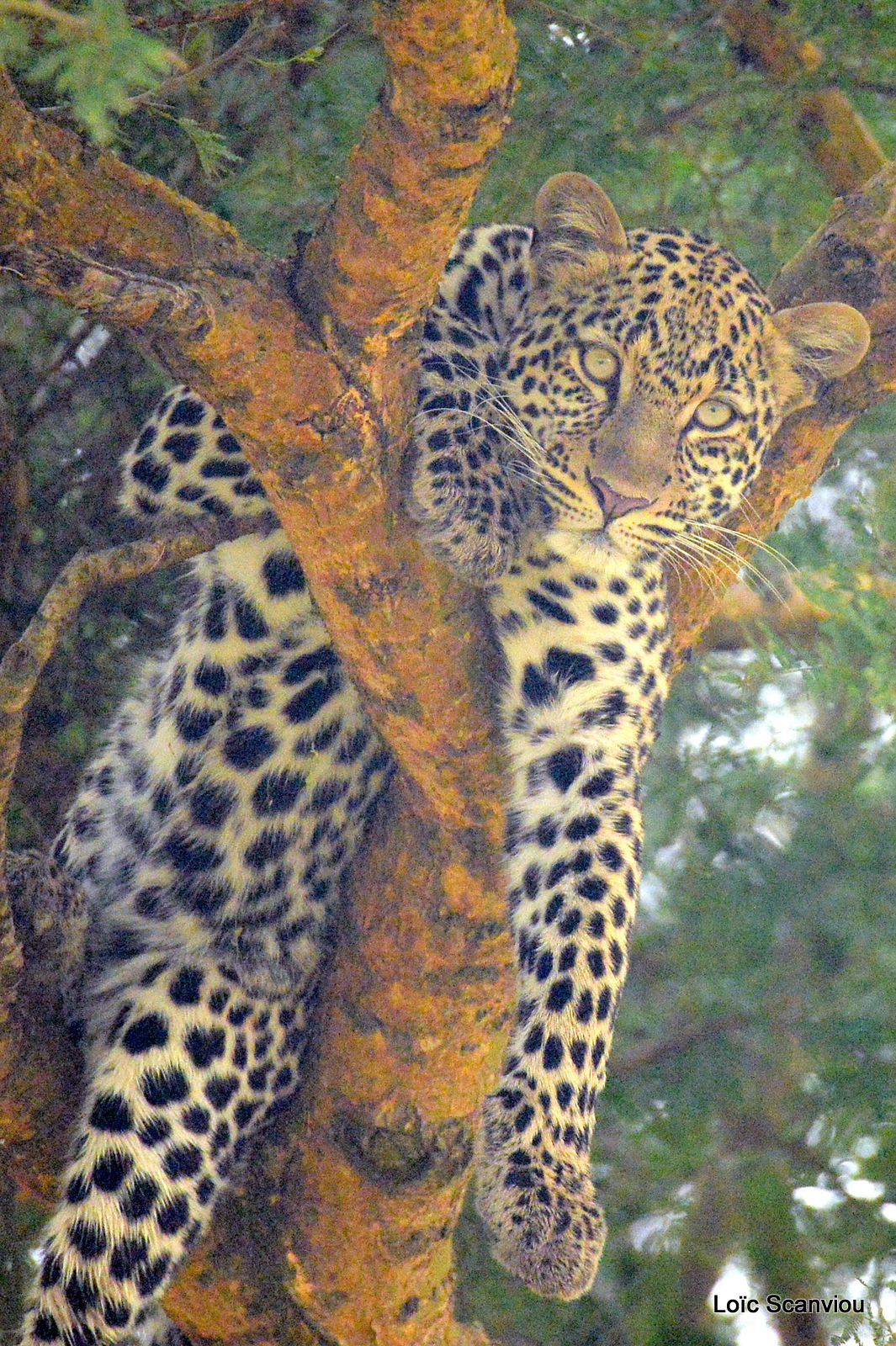 Léopard dans un arbre/Leopard on a tree (3)