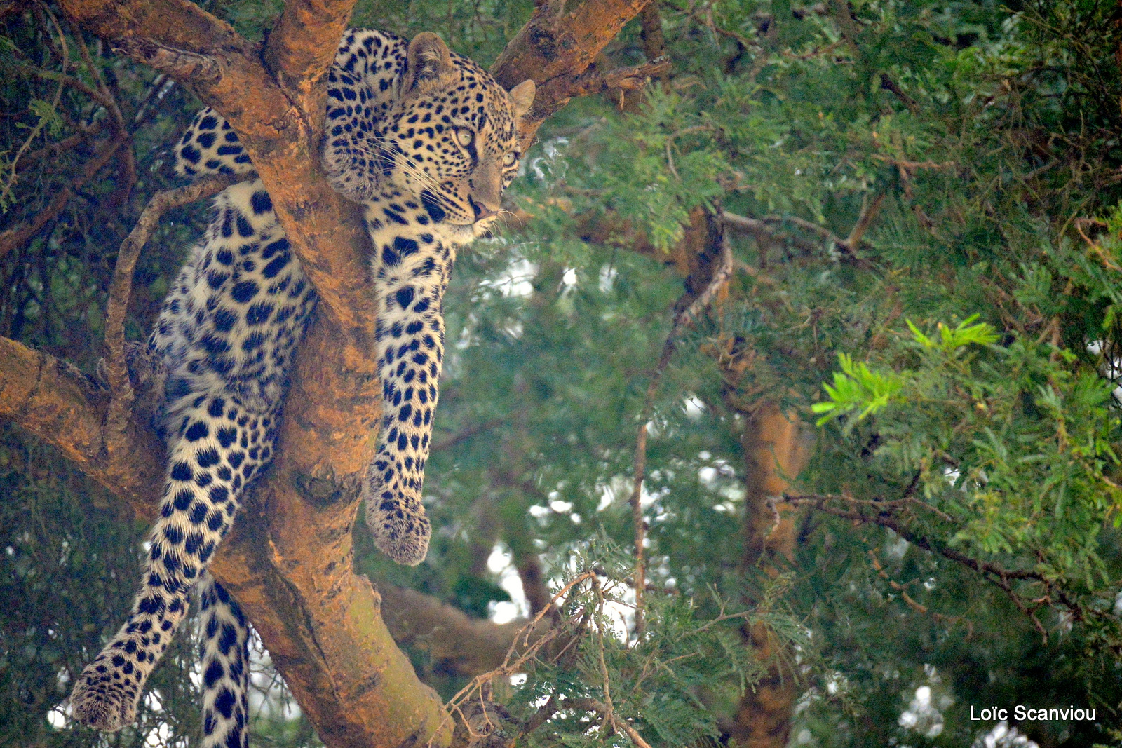 Léopard dans un arbre/Leopard on a tree (4)