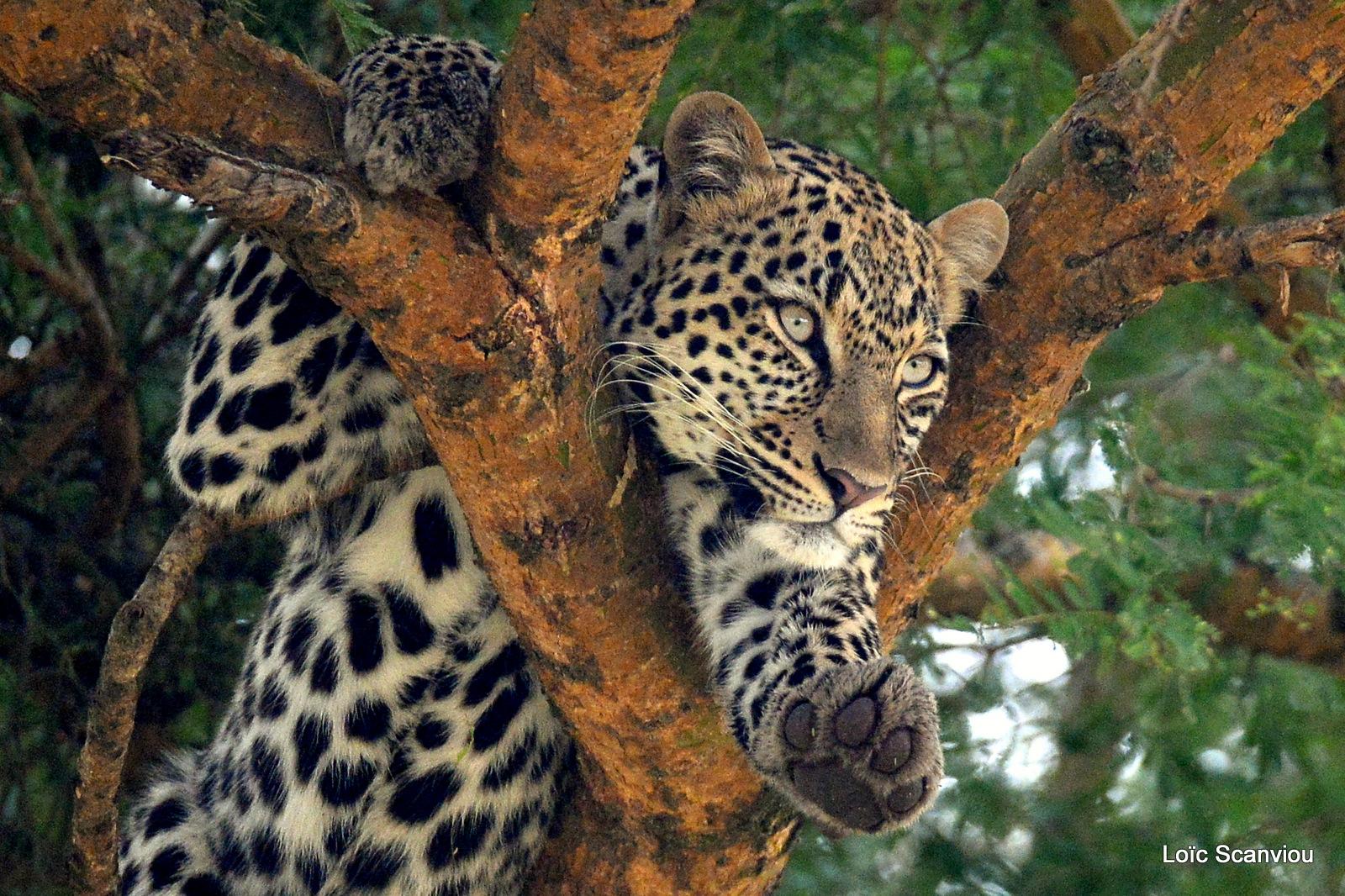Léopard dans un arbre/Leopard on a tree (8)